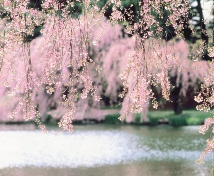 Cherry Blossom Varieties Queens Gazette